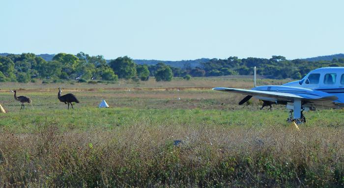 Emus at Coffin Bay Airstrip, South Australia