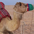 Dune bashing through the desert at sunset, camel riding, a BBQ dinner, belly dancing and shisha smoking - the most fun you can have in an evening in the UAE!